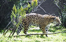 Panthera onca palustris (2).JPG