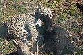 Panthera onca zoo Salzburg 2009 17.jpg