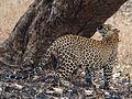 Panthera pardus in the Nagarhole National Park (1).jpg