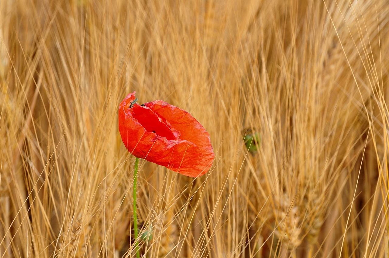 http://upload.wikimedia.org/wikipedia/commons/thumb/4/46/Papaver_%28Roter_Mohn%29_-_Affoltern_2011-06-12_20-06-02.JPG/1280px-Papaver_%28Roter_Mohn%29_-_Affoltern_2011-06-12_20-06-02.JPG