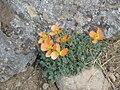 Papaver lapeyrousianum001.jpg