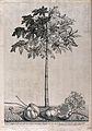 Papaya, pawpaw or melon tree (Carica papaya L.); flowering a Wellcome V0043035.jpg