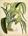 Paphiopedilum parishii (as Cypripedium parishii ) - Curtis' 95 (Ser. 3 no. 25) pl. 5791 (1869).jpg