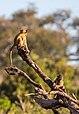 Papión chacma (Papio ursinus), parque nacional de Chobe, Botsuana, 2018-07-28, DD 64.jpg
