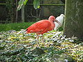 Paradisio Ibis.JPG