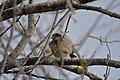 Pardal-comum (Passer domesticus) male (50748134998).jpg