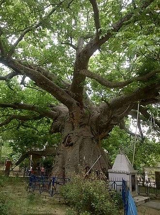 Parijaat tree, Kintoor - Image: Parijat tree 01