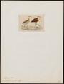 Parra africana - 1820-1863 - Print - Iconographia Zoologica - Special Collections University of Amsterdam - UBA01 IZ17500279.tif