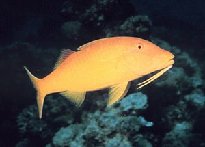 A Yellow Goatfish