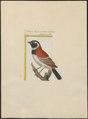Passer melanura - 1700-1880 - Print - Iconographia Zoologica - Special Collections University of Amsterdam - UBA01 IZ16000113.tif