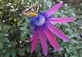 Passiflora Loefgrenii.JPG