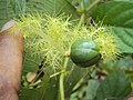 Passiflora foetida 24.JPG