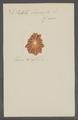 Patella laciniosa - - Print - Iconographia Zoologica - Special Collections University of Amsterdam - UBAINV0274 081 08 0004.tif