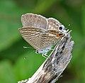 Pea Blue (Lampides boeticus) in Hyderabad, AP W IMG 9839.jpg