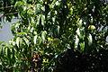 Peach Tree 3 2013-06-30.jpg