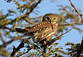 Pearl-spotted Owlet, Glaucidium perlatum, at Pilanesberg National Park, Northwest Province, South Africa (28230808761).jpg