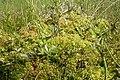 Peat bog vegetation (2144188565).jpg