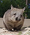 Pebbles the Southern Hairy-nosed Wombat.jpg