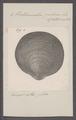 Pectunculus pilosus - - Print - Iconographia Zoologica - Special Collections University of Amsterdam - UBAINV0274 076 06 0009.tif