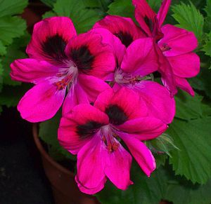 English: Flowers of the regal pelargonium (Pel...
