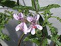 Pelargonium quercifolium 20070810-1349-191A.jpg