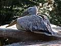 Pelecanus crispus - 001.jpg