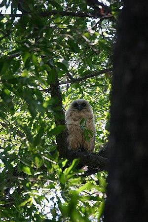 Mapungubwe National Park - Pel's fishing owl