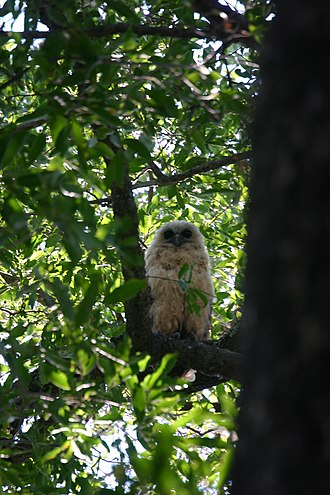 Mapungubwe National Park - Pel's fishing owl