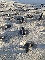 Penguins in penguin Beach, Cape Town .jpg