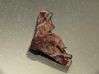 <i>Penicillaria</i> (moth) Genus of moths