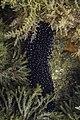 Pepino de mar negro (Holothuria forskali), Parque natural de la Arrábida, Portugal, 2020-07-31, DD 73.jpg