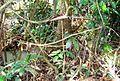 Pepohonan di semak belukar (5).JPG