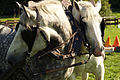 Percherons attelés mondial du cheval percheron 2011Cl J Weber16 (24083447495).jpg