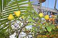 Pereskia grandifolia003.JPG