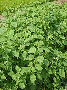 Perilla frutescens - Wikipedia