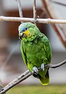 A green parrot with yellow cheeks and shoulders, blue marks between the eyes and beak, and white eye-spots