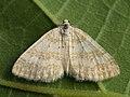 Perizoma albulata - Grass rivulet - Ларенция погремковая (39147710180).jpg