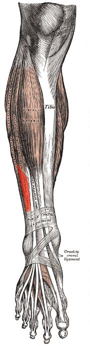 Músculo tercer peroneo - Wikipedia, la enciclopedia libre