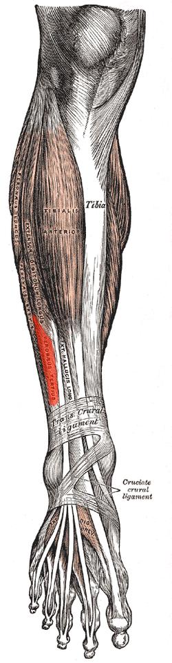 Peroneus tertius - Wikipedia
