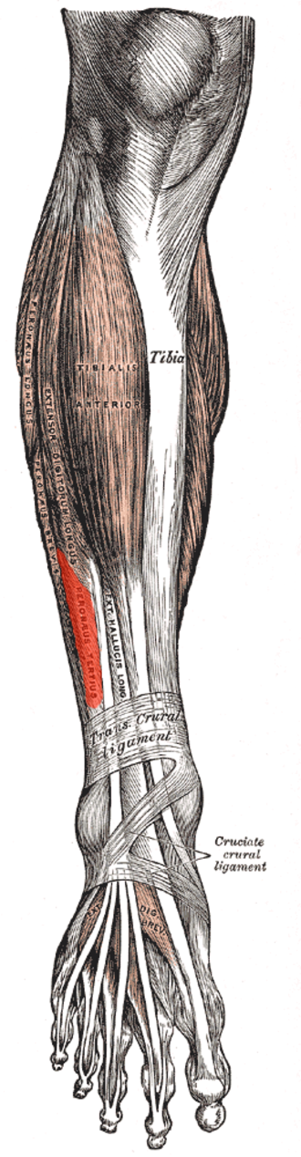 Peroneus tertius - Muscles of the front of the leg. (peroneus tertius visible at center left)
