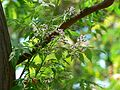 Persian Lilac Tree (429544125).jpg