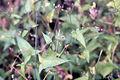 Persicaria arifolia NRCS-1.jpg