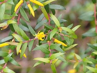 Acacia Acuminata Subsp Acuminata Wikivividly