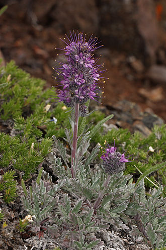 Alpine tundra - Silky phacelia (Phacelia sericea, blooming) and spreading phlox (Phlox diffusa) are species of alpine regions of western North America.