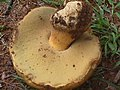 Phaeogyroporus sudanicus (Har. & Pat.) Singer 326899.jpg