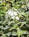 Phlox paniculata 'Rembrandt' in Jardin des 5 sens (3).jpg