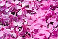 Phlox subulata Red Wing 5zz.jpg
