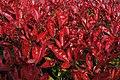 Photinia × fraseri - 2020- 04-12- Andy Mabbett.jpg