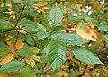 Photinia villosa kz06.jpg