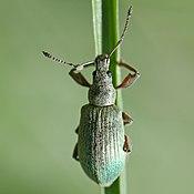 Phyllobius calcaratus spornblattrüßler quadrat.jpg